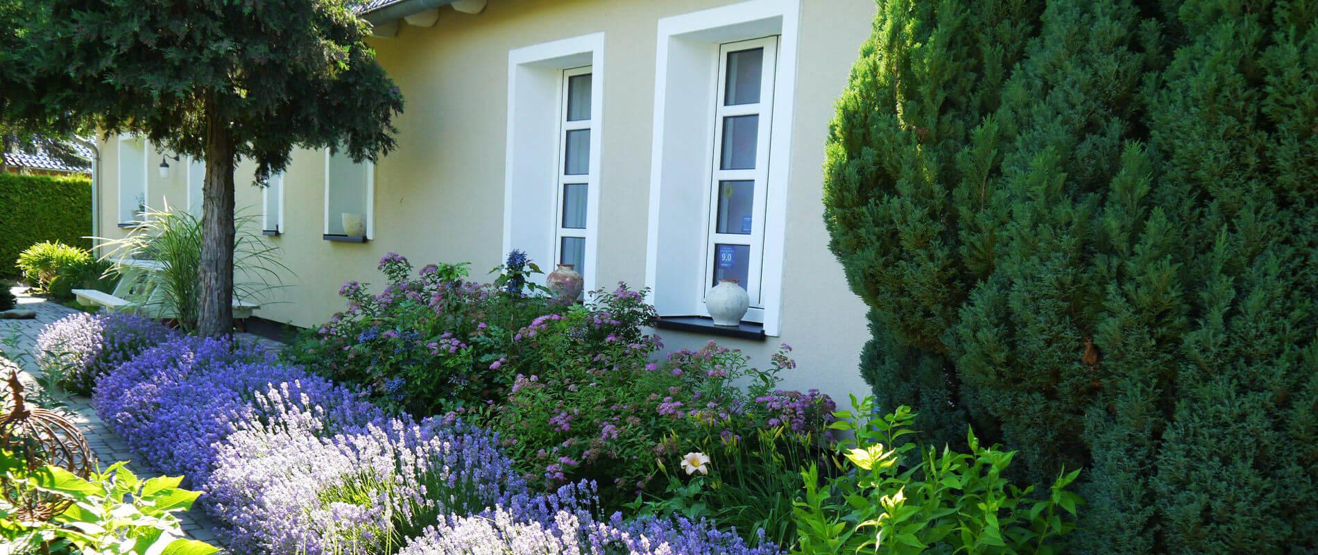 Blühender lila Lavendel vor den Fenstern des Hauses